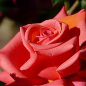 Ніжна оранжово рожева троянда 25 зернят в лоті