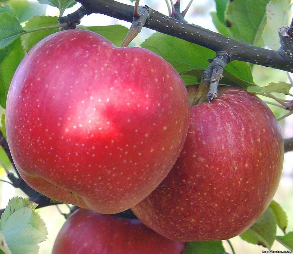 Туле купить саженцы яблонь в беларуси оптом огорожен сеткой рабицей,на