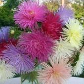 Астра  игольчатая смесь окрасок 30 семян
