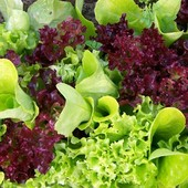 Салат балконный смесь 30 семян