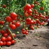 Дерево-помидор Спрут F1.В лоте семена -10 штук.Укр.почта -18 гривен.