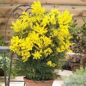 Мимоза Абхазкая - жёлтая ароматная,аромат весны и праздника. .В лоте семена -10 штук.