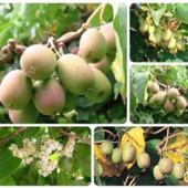 Актинидия (киви), сорт Самоплодная , опылитель не нужен, лот 4 черенка.