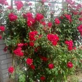 Черенки плетистой розы, 5 шт