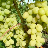 Годовалые саженцы (не черенки!) винограда: кеша,  кодрянка, золото дона, низина.
