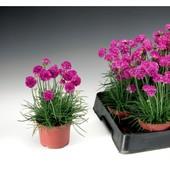 Армерия Армада, многолетник, цветет с мая по август, Швейцария, Syngenta