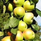 Колоновидная  яблоня  Болеро -1  саженец