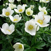 Анемона. Красивый цветок для сада. Один росток.