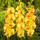 Собирайте лоты!! Гладиолус крупноцветковый Jester (Джестер) Слегка гофрированные крупные цветки