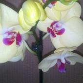 Орхидея фаленопсис.Цвет средне жёлтый.