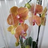 Орхидея фаленопсис. Два цветоноса. Корневая система в порядке.