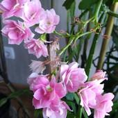 Каланхоэ сортовой махровый розовый