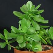 Денежное дерево!!! Лот-1 молодое растение 8-10 см в стаканчике