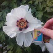 Древовидный пион белый, лот = 1 саженец примерно 2-3 года, в каталогах они от 200 грн!!