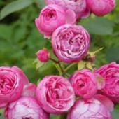 Роза Флорибунда Помпонелла.Шикарная пионовидная роза.Высота куста до 165 -185 см