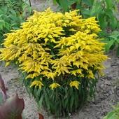 Солидаго(золотая розга)-деленка (3-5 побегов с корнем )