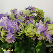 Antonia- вкорінений листочок
