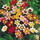 Спараксис многолетний триколор, микс цветов. В лоте 1 луковица микс. Можн в комнате и на улице.