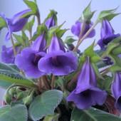 Тидея синяя-многолетнее комнатное растение. .Продаваемые молодые растения ( фото 2) летом зацветут!.
