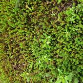 Коврик. Почвопокровные растения. Делянка 17 на 17 см.