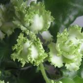 ЛЕ -Зеленая Роза -вкорінений листочок з діткою