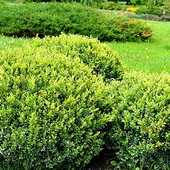 Самшит - идеальный кустарник!!! Живая изгородь!