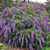 Будлея Давида пурпурно- фиолетовая, многолетний декоративный кустарник. До 2024 года