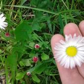 Маргаритка та інші квіти 1 на вибір