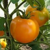 Томат Апельсин крупный