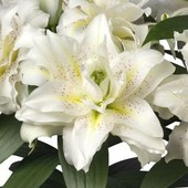 Собирайте лоты!!Lilium Roselily Sita Восточный ориентальный гибрид.Ароматная королева сада.