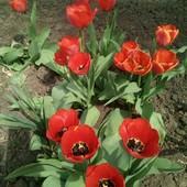 Красные и желто-красные сортовые тюльпаны