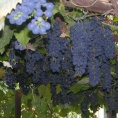 Бако черный - технический (винный) сорт винограда!!! Продаваемые зеленые укорененные саженцы -фото