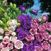 Махровые колокольчики смесь цветов