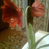 Гиппеаструм, цвет - бордовий. 1 взрослая луковица деток