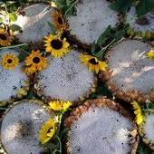 Семечки белого подсолнуха 50+ семян