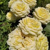 Роза английская ЗЕ Пилигримм-саженец
