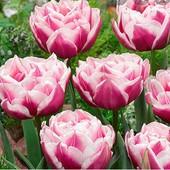Тюльпан Фентези Леди. Лот 1 шт