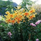 Собирайте лоты!! В лоте сильноароматное лилия-дерево Корковадо.Группа от.гибридов.Яркая звёздочка..