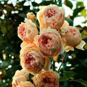 Роза английская-Кроун Принцесcа Маргарет. 1 саженец