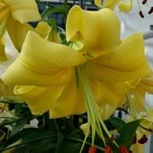 Собирайте лоты=Пора садить лилии! лилия-дерево от.гибрид Yellow Space с насыщеным приятным ароматом