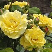 Роза парковая (шраб) Шарлотт- 1 саженец