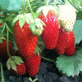 Клубника Нью Айленд. Лот 20 шт ( розсада) можна докупить лоты по вашей ставкДети рады сладкой ягоде.