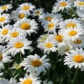 Ромашка садовая или гелиопсис(одно растение на выбор)второе можно докупить .