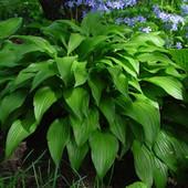 Хоста узколистная или ирис карликовый(одно растение на выбор) второе можно докупить по ставке