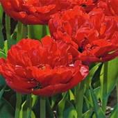 Собирайте лоты!!Махровый тюльпан Миранда.