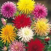 Георгина кактусовидная смесь цветов, 20 шт, до 2023. Готовимся к новому сезону!