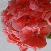 Пеларгонии зональные на выбор! В лоте одно укорененное растение.Можно несколько по Вашей ставочке.