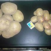 """Семенной картофель """"Пикассо"""""""