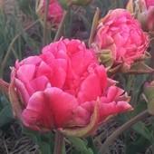 Тюльпан Justina (Джастина) – один из самих новых махровых сортов, розово-лилового цвета.