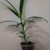 Кордиліна трав'яниста пальма